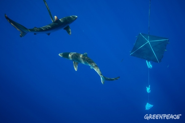 Silky Sharks near a FAD in the Indian Ocean. 26 April 2016 © Will Rose / Greenpeace