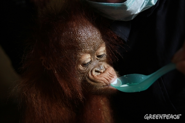 Baby orangutan rescued from forest fires in West Kalimantan