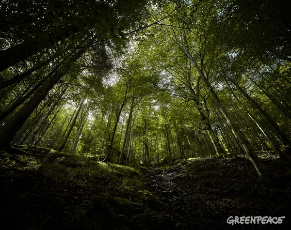 Carpathian Forest in Romania, 20 Aug, 2016. © Mitja Kobal / Greenpeace