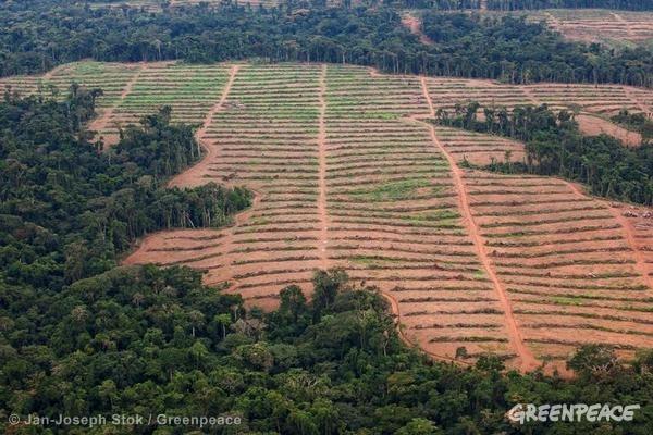 Oil Palm Nursery in Cameroon. 07/29/2013 © Jan-Joseph Stok / Greenpeace