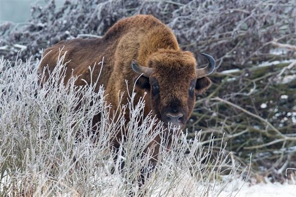 European bison in Bialowezia forest by Adam Wajrak