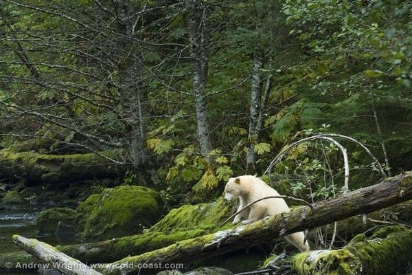 A bear climbs over a fallen tree in the Great Bear Rainforest in British Columbia, Canada. 17 Oct, 2007  © Andrew Wright / www.cold-coast.com