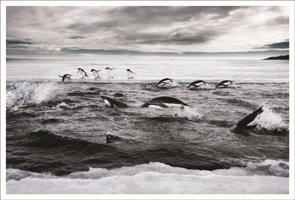 Penguins in the Ros Sea (C) John Weller