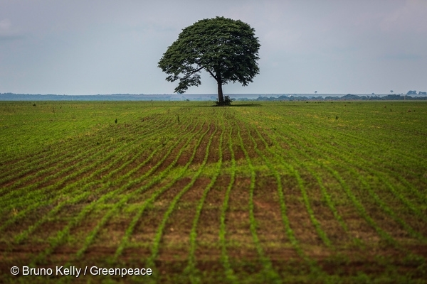A lone tree stops the endless pattern of lines formed by soybean sprouts in Nova Mutum, in Mato Grosso. 28 Nov, 2015  © Bruno Kelly / Greenpeace