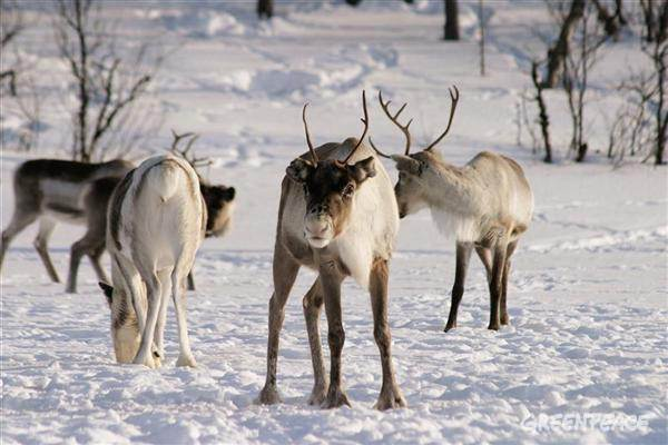 Reindeer in Northern Finland