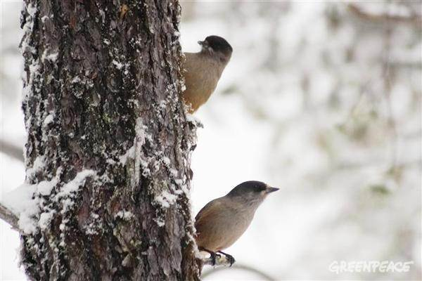 Siberian Jay (Perisoreus infaustus)  in Finland's forests
