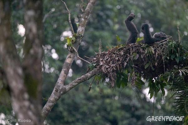 An adult chimpanzee in his nest at the Pandrillus Drill Sanctuary, Nigeria.