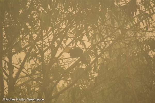 A hornbill is seen from a tree where the air is engulfed with thick haze