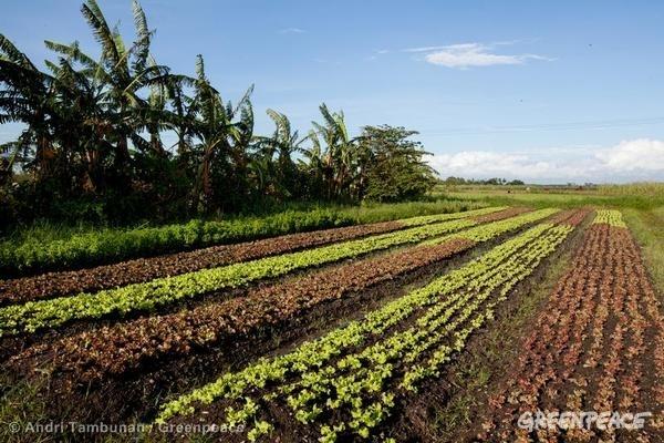 Organic Farming in Negros. 11/20/2013 © Andri Tambunan / Greenpeace