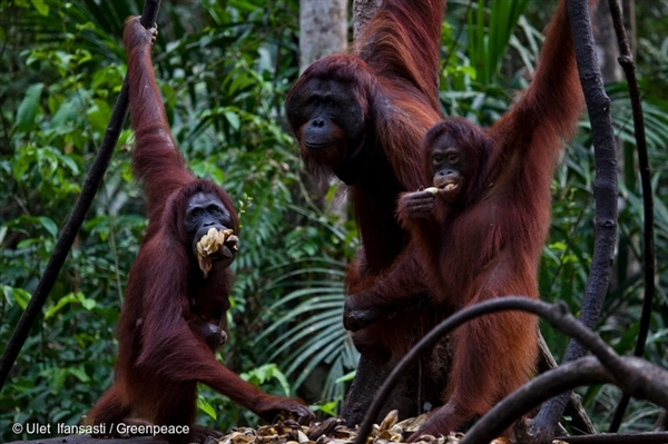 Thanks for help protecting the home of the orangutan!