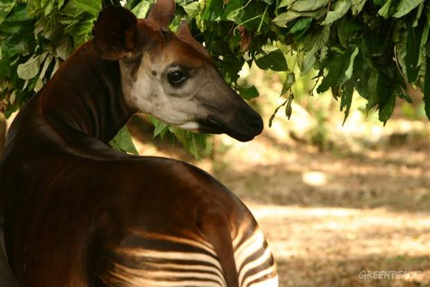 Okapi - Democratic Republic of the Congo
