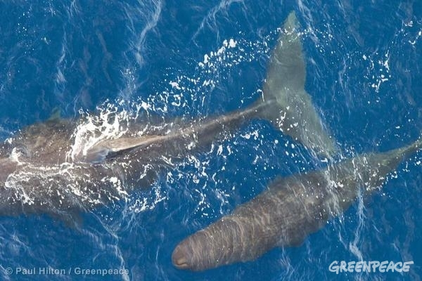 Sperm Whales in the Pacific Ocean