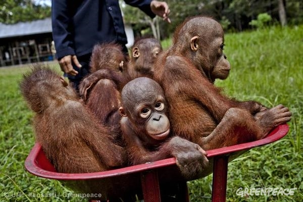 Baby orangutans at the Orangutan Foundation International Care Center in Pangkalan Bun, Central Kalimantan. Expansion of oil palm plantations is destroying their forest habitat. 09/14/2013