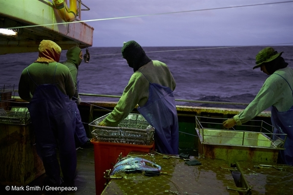 Fishermen haul in their lines on tuna longliner in the South Pacific albacore tuna fishery.