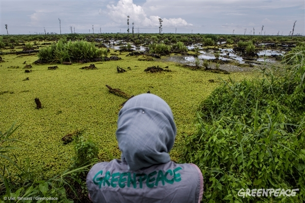 A Greenpeace investigator in Indonesia documents the devastation of a company-identified 'No Go' area of peatland in the PT Bumi Sawit Sejahtera (IOI) oil palm concession in Ketapang, West Kalimantan. This area of the concession suffered extensive fires in 2015.