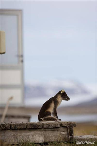 An arctic fox pauses in the doorway of a cabin where scientists stayed during the five week long ocean acidification experiment.