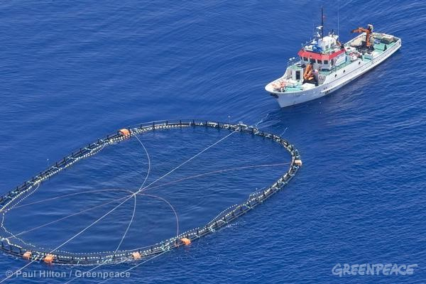 Tuna Cage in the Mediterranean. 06/07/2010 © Paul Hilton / Greenpeace