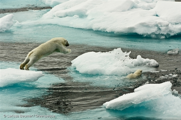 A polar bear mother and her young on sea ice north of Svalbard. 8 Aug, 2013 © Larissa Beumer / Greenpeace
