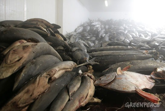 A refrigerated warehouse in Pohnpei, FSM. To the left is a pile of finless shark carcasses, to the right a moonfish. In the background are frozen yellow fin tuna.