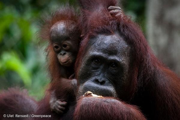 Orangutans at a feeding station run by Orangutan Foundation International. 31 Oct, 2013 © Ulet Ifansasti / Greenpeace