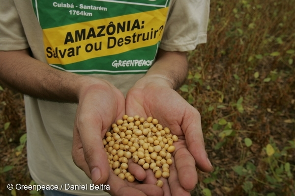 Soya beans in the hands of a Greenpeace Amazon Campaigner, in a soya plantation.28 Jul, 2005  © Greenpeace / Daniel Beltrá