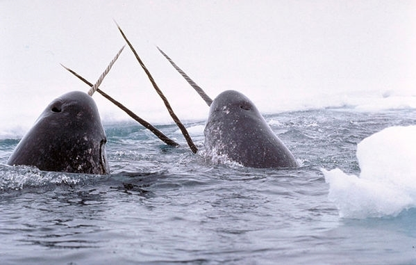 Narwhals breaching in icy waters in the US.  © Glenn Williams / National Institute of Standards and Technology