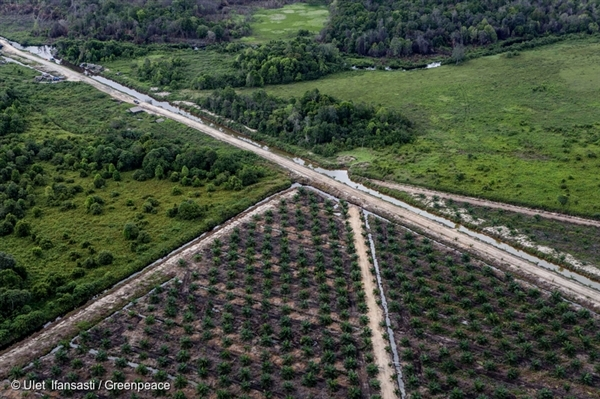 Remnant forest beside artificial drainage and recent plantation development in IOI's PT Bumi Sawit Sejahtera oil palm concession