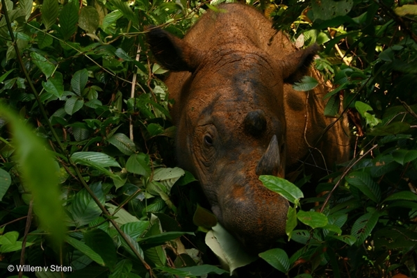 Sumatran rhino Way Kambas National Park