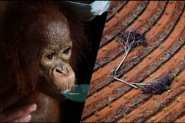 Forest Destruction and Orphaned Orangutan