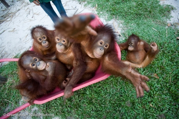 Baby Orangutans play at the Borneo Orangutan Survival Foundation (BOS). 7 Oct, 2007 © Greenpeace / Natalie Behring
