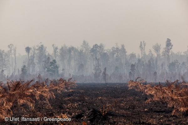 Smoke rises through smouldering forest behind burnt palm oil saplings in in Ketapang, West Kalimantan. The area is outside any identified concession. 20 Sep, 2015