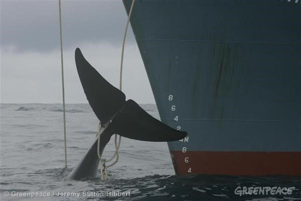 Japanese whaling fleet kill a whale. 01/07/2006 © Greenpeace / Jeremy Sutton-Hibbert