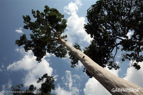 Afrormosia Tree in Congo. 03/23/2007 © Greenpeace / Jiro Ose