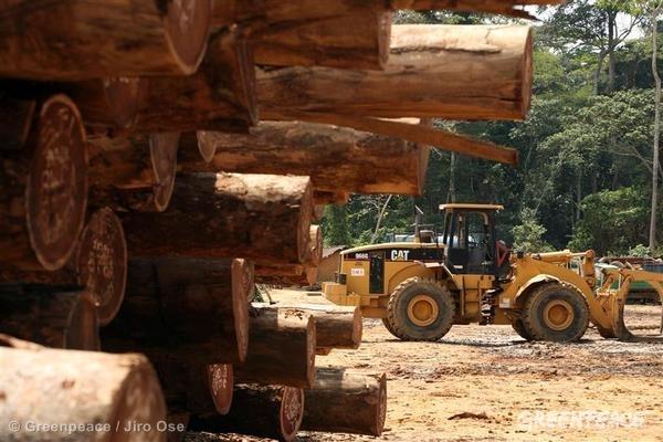 Logging of Afrormosia in Congo.  03/23/2007 © Greenpeace / Jiro Ose