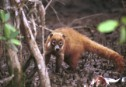 A coati (member of the raccoon family) prowls