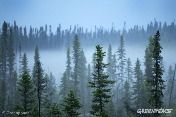 Foggy view of Broadback forest. 08/16/2009 © Greenpeace
