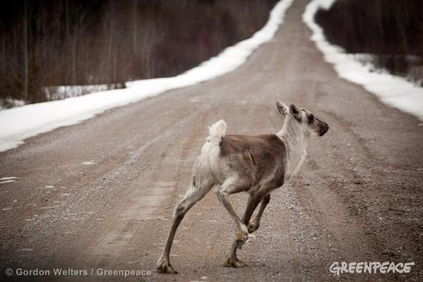 Baby woodland caribou. 04/25/2011 © Gordon Welters / Greenpeace