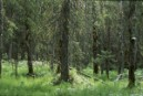 Finland resumes destruction of its old-growth forests