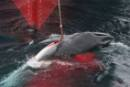 Greenpeace finds and engages the whaling fleet in the Southern Ocean