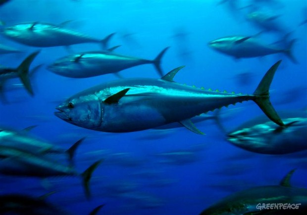 Bluefin tuna: Jewel of the Mediterranean