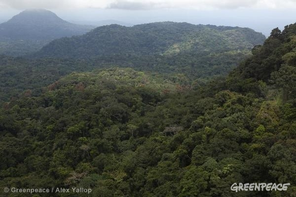 The coastal rainforest of Cameroon. This forest, at the fringe of the Congo Basin, is a biodiversity hotspot, home to endangered species including chimpanzees and forest elephants. It also provides hunting and fishing grounds, building materials, fuel wood and medicine for local communities. The forest, and the people and animals who depend on it, are being threatened by a proposed palm oil plantation that would flatten an area eight times the size of Manhattan. The corporation behind the proposed project, US-based Herakles Farms, is pressing ahead with forest clearance, despite widespread local opposition.