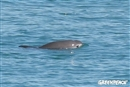 Vaquita success! New protections could save this endangered porpoise