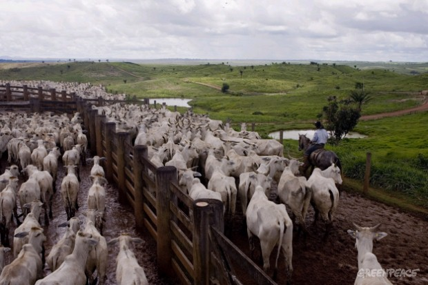 Cattle Ranching in Para State, Brazil