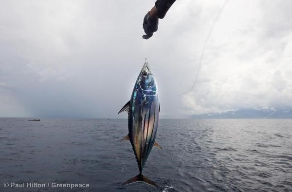 Skipjack Tuna caught on Line. 12/21/2011 © Paul Hilton / Greenpeace