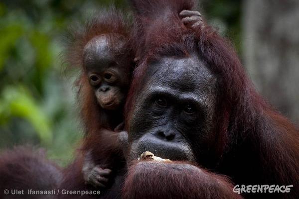 Orangutan Feeding Platform near Tanjung Puting National Park. 10/31/2013 © Ulet Ifansasti / Greenpeace
