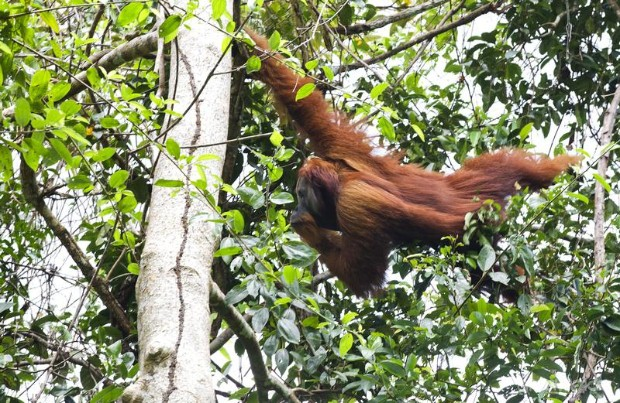 Orangutan Confiscation in Tripa