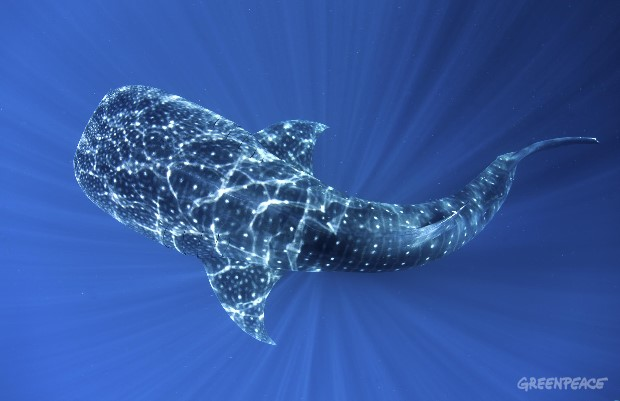 Whale Shark in Cenderawasih Bay