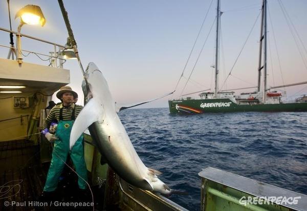 Caught Shark on Japanese Longliner