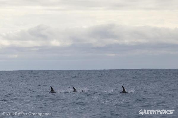 Dolphins Near Russian Seismic Vessel in Barents Sea
