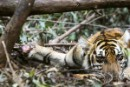 "Homeless ""Sumatran Tigers"" Implore Ministry of Forestry to Enforce the Law and Save their Forest Homes"